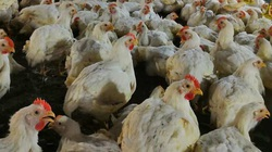 Giá gia cầm hôm nay 13/8: Giá gà công nghiệp có xu hướng giảm, gà ta bán tại chợ giá cao