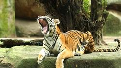 Chuyên gia chăm sóc hổ: Tiêm thuốc mê để cứu hộ động vật, nếu không có kinh nghiệm 10 con sẽ chết 5