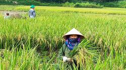 Hòa Bình: Nói cấy lúa ai cũng cho là dễ, nhưng cấy ra lúa sạch mới là khó, ăn bát cơm ngon hơn hẳn