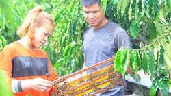 Lâm Đồng: Nuôi ong mật an toàn sinh học trong vườn cà phê, vừa bán sữa vừa bán mật, nhiều người kéo đến xem