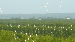 Điều ít biết khu rừng mọc dưới nước ở tỉnh Bình Định, chim cò về đậu trắng cả vùng