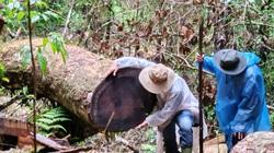 Video: Điều tra vụ phá rừng dổi nghiêm trọng tại khu vực giáp ranh 3 huyện
