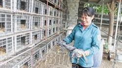 Thái Bình: Nuôi loài chim quen với cách lạ, nhiều người xem tấm tắc, trầm trồ