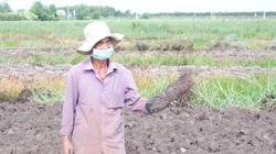 Long An: Vùng đất dân trồng thứ cây dây leo lung tung, cuốc lên toàn củ to bự, giữa mùa dịch lại bán trúng giá