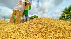 Giá gạo xuất khẩu Việt Nam chạm đáy trong 1,5 năm, nguyên nhân vì sao?