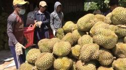 Khánh Hòa: Sầu riêng Khánh Sơn vào mùa hái trái rộ, giá sầu riêng giảm 10%, nhiều nông dân vẫn lãi tiền tỷ