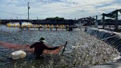 Bến Tre: Sò huyết, tôm thẻ, tôm càng xanh đang nằm đầy ao, nông dân huyện Thạnh Phú mong được hỗ trợ tiêu thụ