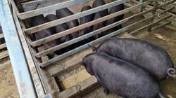 Điện Biên: Bệnh dịch tả lợn châu Phi đang có diễn biến phức tạp