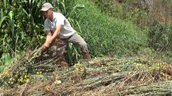 """Video: Người dân trồng hoa """"ngấm đòn"""" vì Covid-19, vẫn quyết tâm xuống giống"""
