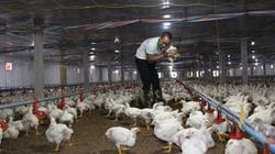 Giá gia cầm hôm nay 30/8: Giá gà công nghiệp miền Bắc nhích nhẹ, giá vịt thịt có xu hướng giảm