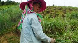 Yên Bái: Trồng rau, nuôi lợn sạch, nông dân miền núi có thu nhập khấm khá