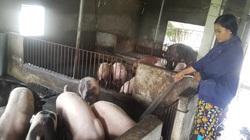Giá heo hơi một số vùng nhích lên, giá thành chăn nuôi giữa nông hộ và doanh nghiệp chênh lệch lớn