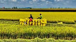 Kiên Giang: Hướng đến xây dựng thương hiệu lúa mùa Gò Quao