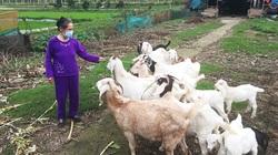Nuôi dê, kinh doanh giống cây lâm nghiệp là 2 mô hình hay giúp nông dân Sóc Sơn làm giàu