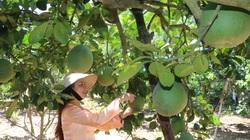 Quảng Ngãi: Bưởi da xanh được mùa, giá ổn định nông dân phấn khởi