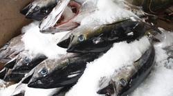 Xuất khẩu cá ngừ Thái Lan sụt giảm vì cước vận chuyển tăng vọt