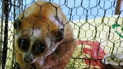 Bình Định: Bất ngờ bắt được cu li quý hiếm giữa rừng, người dân giao nộp kiểm lâm