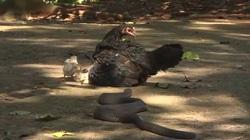 Thiên nhiên diệu kỳ: Rắn hổ mang phun nọc Java âm thầm trườn tới, gà mẹ liệu có thể bảo vệ được đàn con?