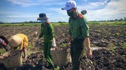 Công an huyện Giồng Riềng giúp nông dân tiêu thụ gần 180 tấn khoai lang