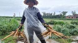 Quảng Nam: Dân dầm mưa nhổ vội bụi khoai mì chạy bão, cây còn xanh, củ còn non vẫn phải đem về