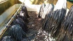 ĐBSCL: Giá lươn thịt giảm mạnh, nông dân bán trầy bán trật