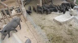 Quảng Ngãi: Cử nhân cầm bằng đại học về quê nuôi heo có cái tên lạ, 4 năm sau đã có cơ ngơi tiền tỷ