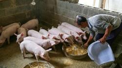 Giá thịt lợn tăng sốc rồi giảm sâu, các nhà sản xuất thịt Trung Quốc ngập trong nợ nần