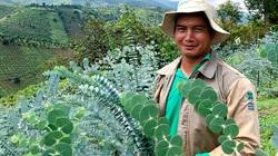 Lâm Đồng: Trồng cây lạ có tên cây đô-la, anh nông dân giỏi chỉ bán cành cũng thu trăm triệu/năm