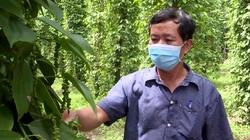 Bình Dương: Hội Nông dân giúp bà con tìm lại niềm vui từ mô hình trồng hồ tiêu GlobalGAP