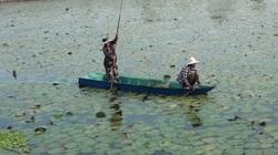 Long An: Tăng thu nhập từ tận dụng ao nuôi cá để trồng bông súng