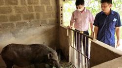 Quảng Bình: Nông dân miền núi Minh Hóa thoát nghèo nhờ vay vốn nuôi lợn rừng, trồng mít Thái