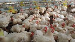 Giá gia cầm hôm nay 19/9: Giá gà công nghiệp giảm từng ngày, vịt thịt miền Bắc được giá cao
