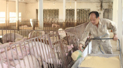 Giữa đại dịch Covid-19, nuôi lợn bằng thảo dược, cho nghe nhạc trữ tình...anh nông dân Nam Định bán đắt hàng