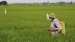 """Nam Định: Sâu đục thân """"tấn công"""" lúa Hè Thu, nhiều cánh đồng sâu xuất hiện vô số"""