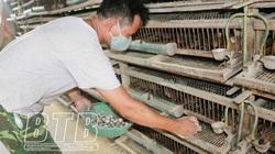 Thái Bình: Nuôi loài chim chỉ có ăn với đẻ, nhặt trứng mỏi tay, ngày nào cũng có tiền