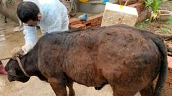 Bệnh viêm da nổi cục gây thiệt hại gần 100 tỷ đồng: Đốc thúc tiêm vaccine giữ đàn gia súc