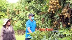Bình Phước: Vì sao nông dân thiệt đơn thiệt kép với loại cây ra trái từng chùm từng coi là đặc sản này?
