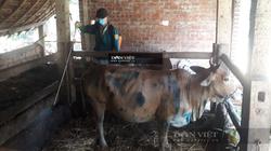Bình Định đề nghị thẩm định để công bố hết dịch bệnh viêm da nổi cục trâu, bò