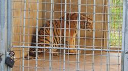 Chi phí nuôi nhốt các cá thể hổ được giải cứu ở Nghệ An hiện nay thế nào?