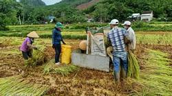 Quảng Nam: Nông dân xứ Quảng ra đồng gặt lúa giúp dân bị phong tỏa, cách ly