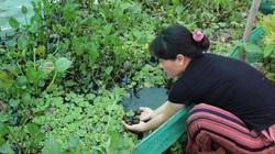 Long An: Bất ngờ trồng gấc, nuôi ốc bươu đen được xem là mô hình nông nghiệp mới, có triển vọng