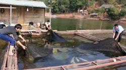Nuôi cá lồng trên lòng hồ thủy điện Sơn La, người dân bản Ít có thu nhập ổn định