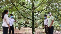 """Đắk Lắk: Sầu riêng trái còn treo đầy trên cây, nông dân """"phập phồng"""" lo lắng"""