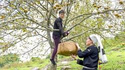 Tuyên Quang: Ở nơi này, dân trồng thứ cây đặc sản, tới mùa trái treo lúc lỉu, vườn đồi đẹp như phim
