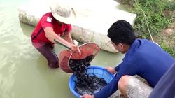 Tiền Giang: Ương cá đặc sản đuôi đỏ như son, anh nông dân miệt vườn thu tiền tỷ mỗi năm