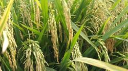"""Nông dân vùng """"rốn phèn"""" trồng lúa theo cách mới, lợi nhuận tăng gần 4 triệu đồng/ha"""