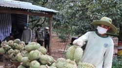 Đắk Lắk kêu gọi tiêu thụ hơn 80.000 tấn sầu riêng, bơ