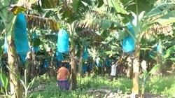 Lào Cai: Nỗ lực hỗ trợ nông dân trồng chuối tiêu thụ nông sản