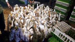 Giá gia cầm hôm nay 9/9: Giá vịt thịt phía Nam tăng dần, người nuôi vẫn chịu thua lỗ