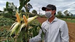 Quảng Ngãi: Ngô sinh khối là giống ngô gì mà nông dân chăm nhàn tênh, thu nhập cao hơn 1,5 lần so với cấy lúa?